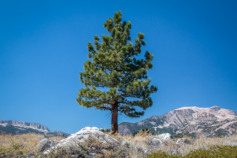 August 28 - Tree_ Mammoth Lakes_ CA.jpg