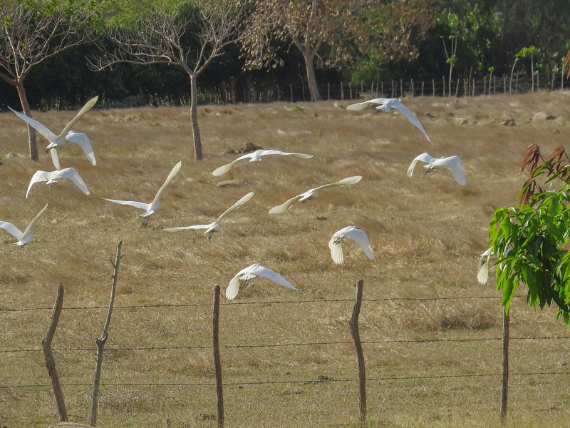 Cattle Egrets -- like little white mascots next to their horses and cattle.
