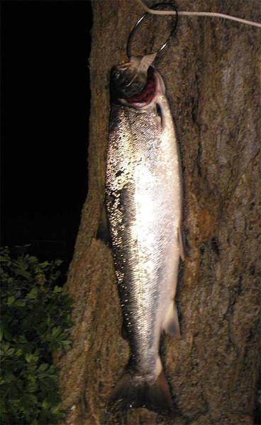Havørred 3,4 kg, 67 cm. Jernhatten juni 2008.