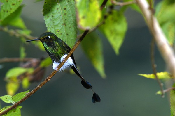 Booted Rackettail Ecuador