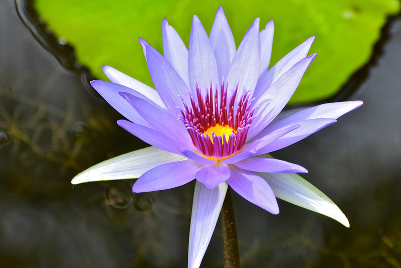 Woods Blue Goddess Waterlily -Nymphaea