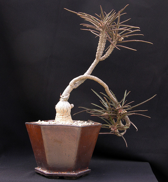 Euphorbia waringiae ready for the 2013 CSSA Show at the Huntington Library