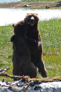 Two Young Brown Bears Wrestling - Vertical May 2016, Cynthia Meyer, Tenakee Springs, Alaska P1180974
