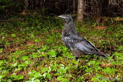 Common Raven (camera trap)
