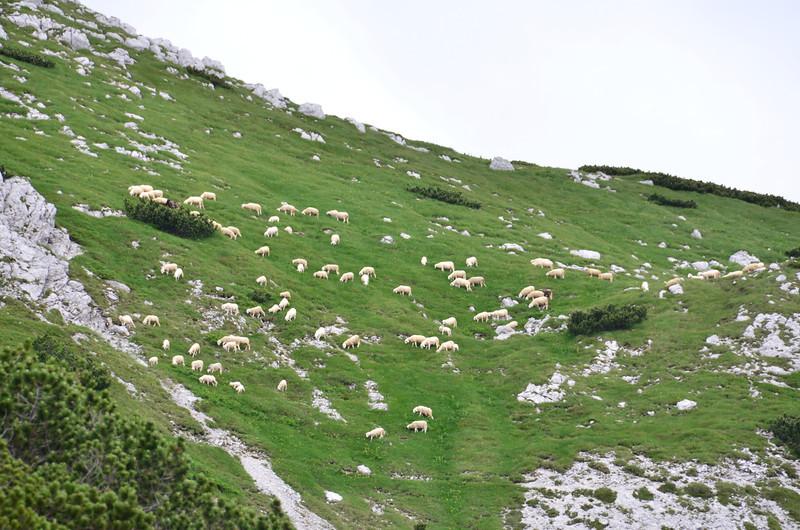 Sheep. Vogel Summit Trail (route 25)