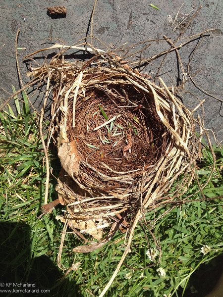 Northern Cardinal nest