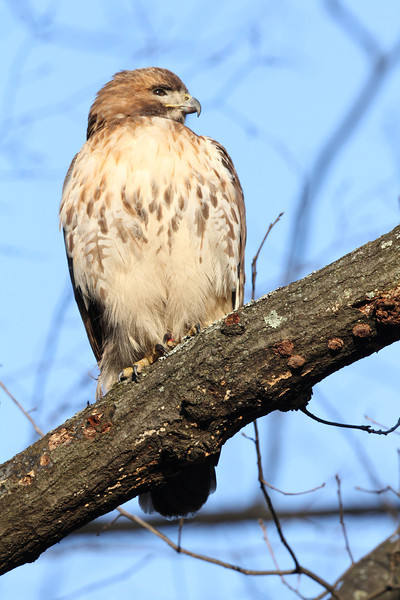 Red Tailed Hawk 2013-02-25
