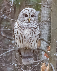 Barred Owl Pelham, NH