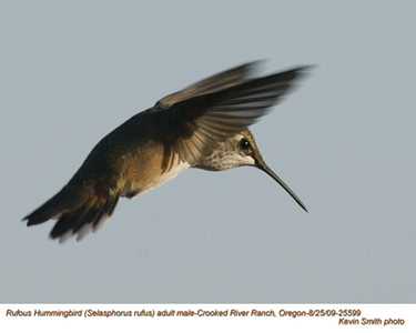 RufousHummingbirdsA25599.jpg