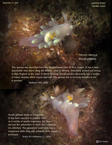 12.14.16 Pacific ancula slug .jpg