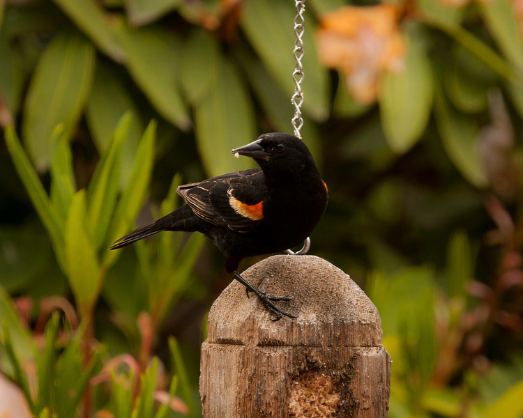 Redwing Blackbird-5189.JPG