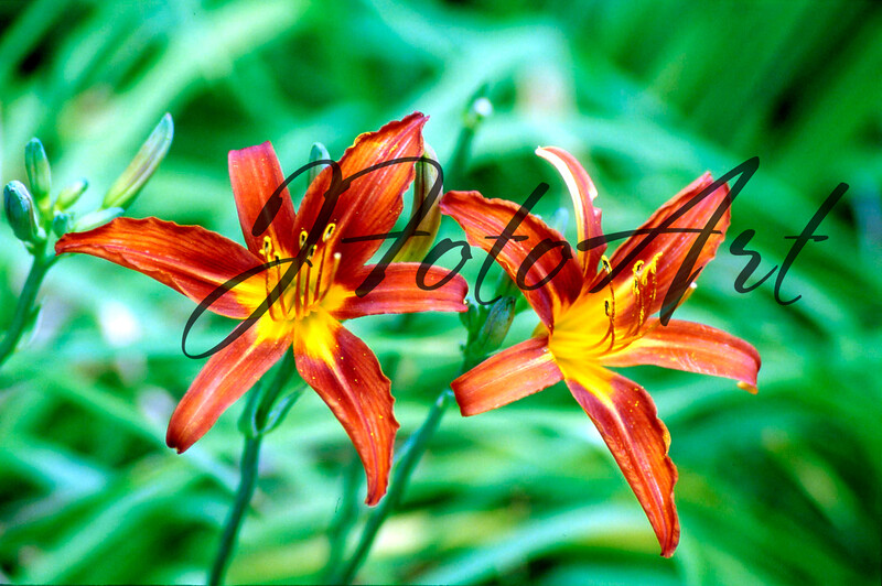orange flowers 802.jpg