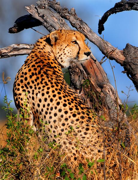 54. Cheetah Watching.jpg