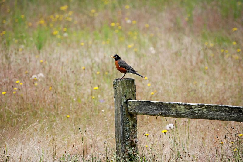 Male American Robin Seattle, WA
