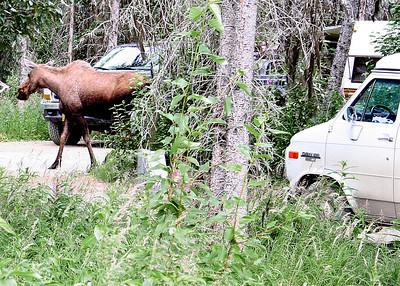 7/30/06 - Moose loose in the campground - Kasilof, AK