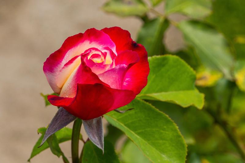 Filoli_Roses-20.jpg