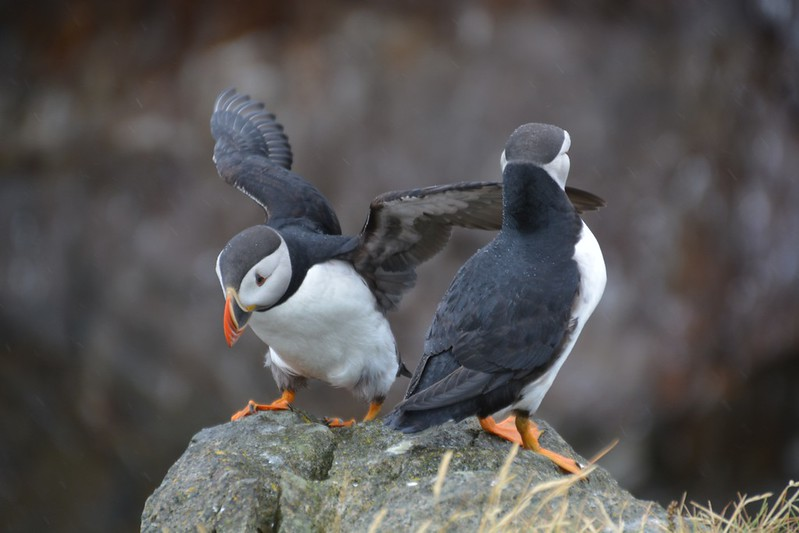 puffins in elliston newfoundland by Cailin ONeil 002.jpg