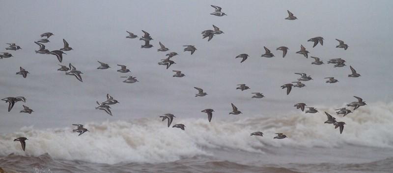 shorebird flock Park Point Duluth MN IMG_3264.jpg