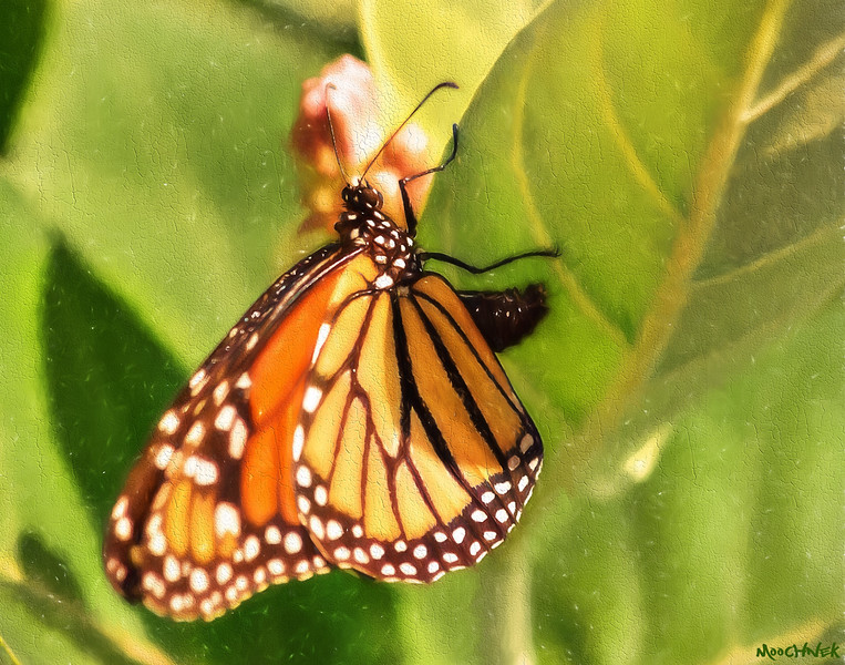 IT'S EGG LAYING TIME FOR THE MONARCH..