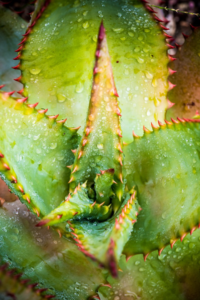 Aloe ferox DSC_2129.jpg