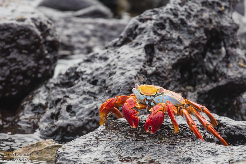 Sally Lightfoot Crab - Galapagos, Ecuador