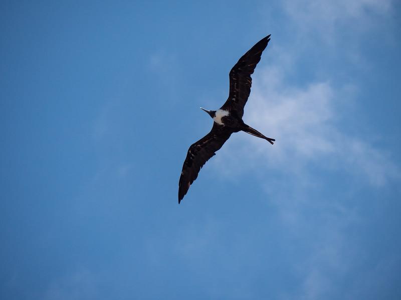 bahia honda frigatebirds