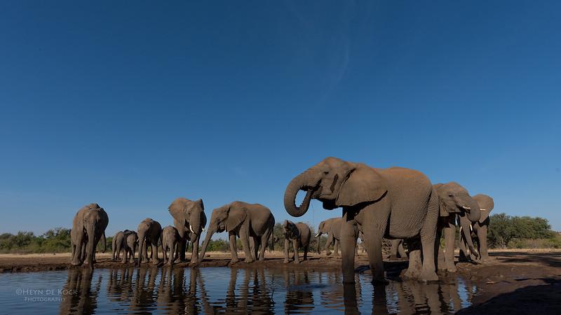 African Elephant, Mashatu GR, Botswana, May 2017-31.jpg
