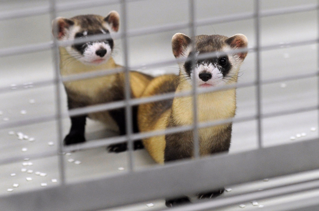 . WELLINGTON, CO - Oct. 29: Two ferrets peer out of one of the indoor holding pens inside the breeding building. There are four breeding rooms in the building that have 42 cages in each. The U.S government through the U.S. Fish and Wildlife Service is breeding the black-footed ferret in captivity in northern Colorado. Restoring the ferrets, an endangered species, to the United State prairies is considered a key step in to reviving dying ecosystems. (Photo By Kathryn Scott Osler/The Denver Post)