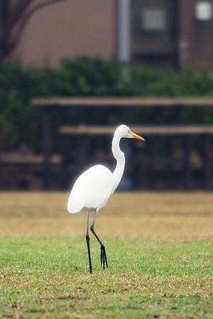 CLHS Egret