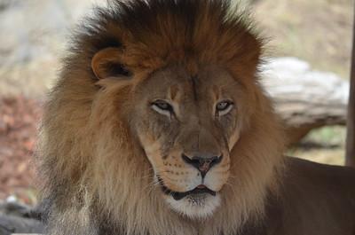 New 2019 Lion Exhibit at Sac Zoo