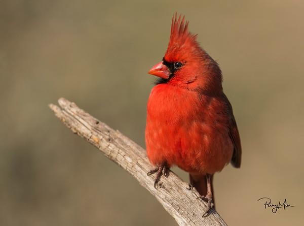 Cardinal Male 2 LL copy.jpg