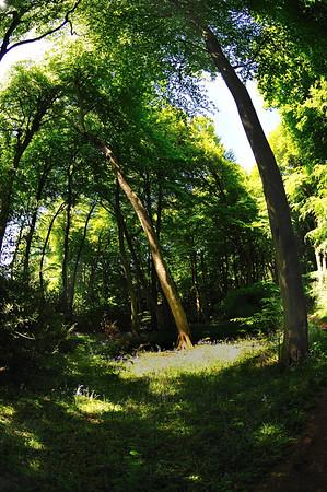Bradenham Woods Bluebells 2009 & 10