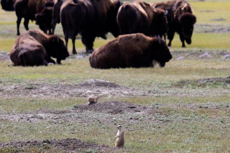 Prairie Dogs Grasslands 2019-4.jpg