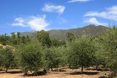 Ojai Olive Oil grove