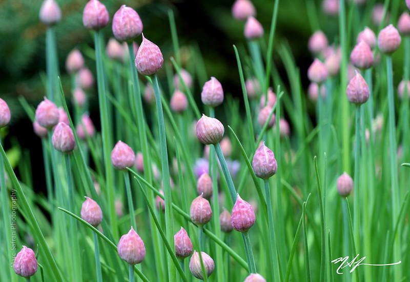 Flower_Chives_with_Purple_Buds_Garden.jpg
