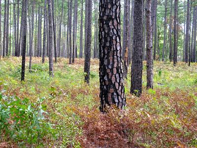 Pine Barrens at Zuni