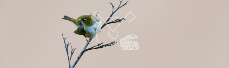 Silvereye on a dry branch at Bushy beach in New Zealand.