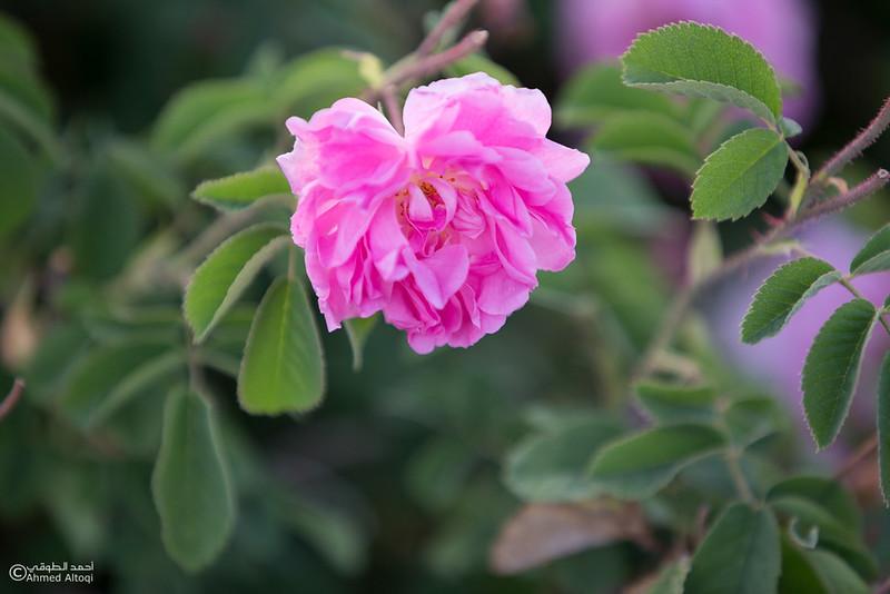 Roses Water (55)-Aljabal Alakhdhar-Oman.jpg