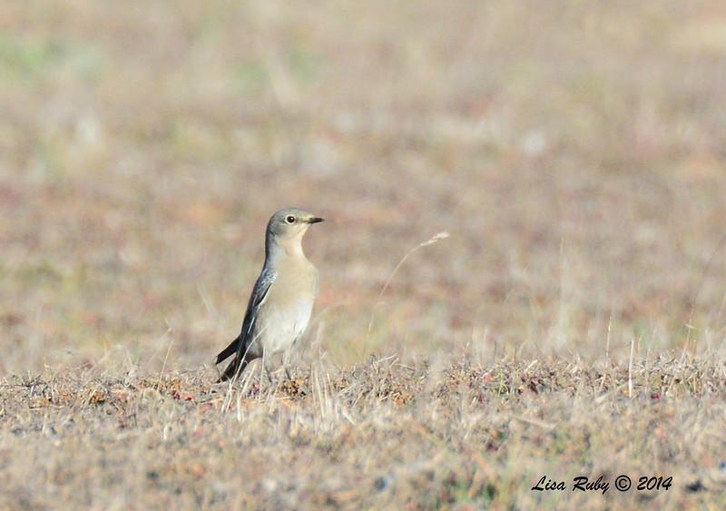 Female Mountain Bluebird - 1/2/14 - Ramona Grasslands Preserve