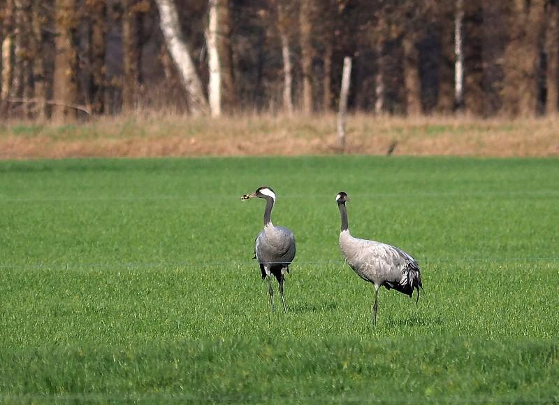 Kraanvogel - Gijsselte 30-11-18 (1).jpg