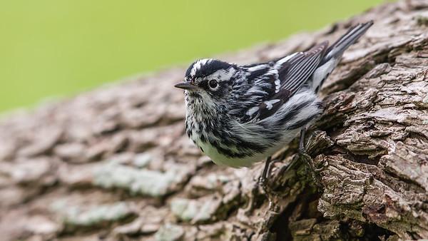 Blackandwhite Warbler