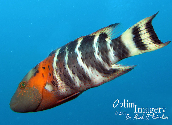 Fish I.D. 2:  How to Tell Your Wrasse from a....um...'Nuther Kind of Fish