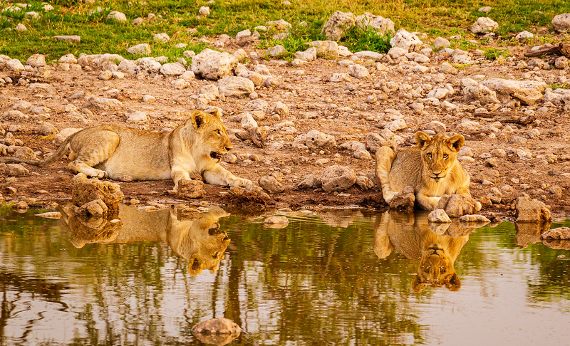 Lion family at Groot Okevi 1