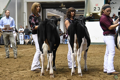 Midwest Fall National Holstein Show 2018