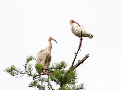 White Ibis, 2021