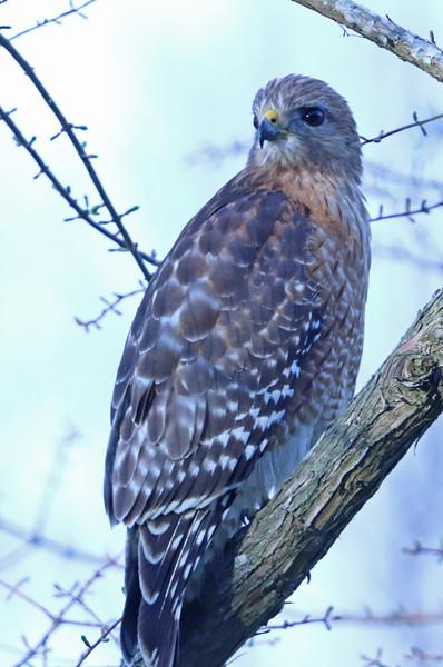 Red-shouldered hawk 357
