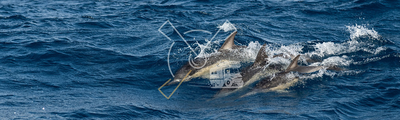 Group of Common dolphins in the waters of the Azores Islands near Sao Miguel Island.