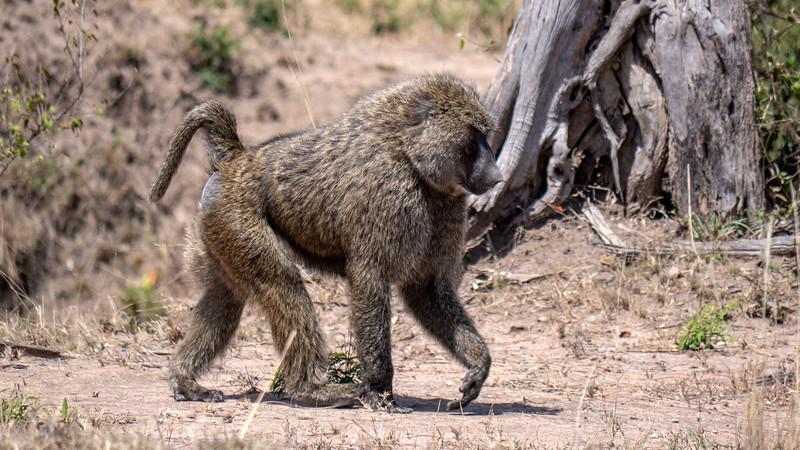 Tanzania-Serengeti-National-Park-Safari-Baboon-01.jpg