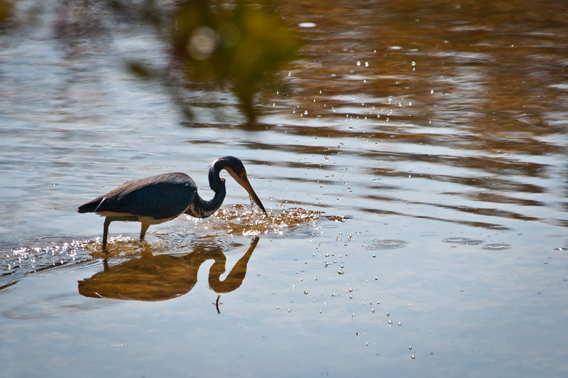 Tri-colored Heron feeding at Ding Darling Bailey Tract