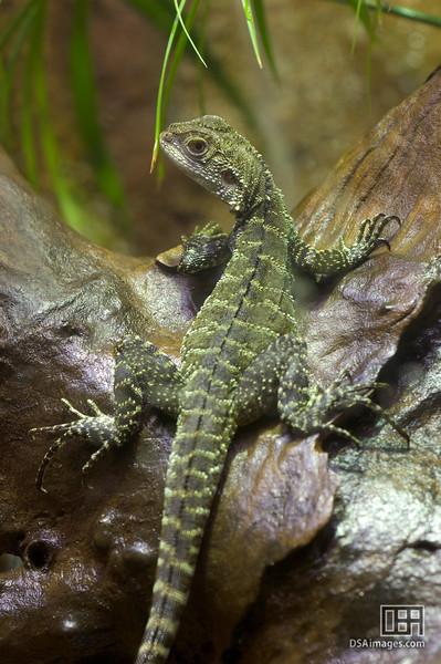 Gippsland Water Dragon (Physignathus lesueurii howittii)